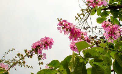 Pink flowers against a cloudy sky.